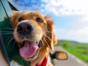 10 consejos para viajar con tu perro - 10 consejos para viajar con tu perro 300x225